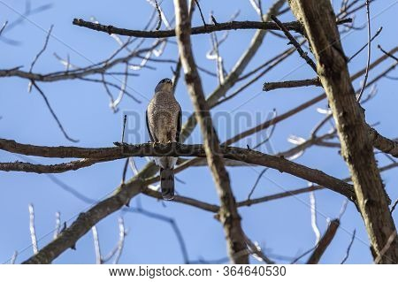 Cooper\'s Hawk (accipiter Cooperii), Also Known As The Cooper Hawk Is American Native Animal.