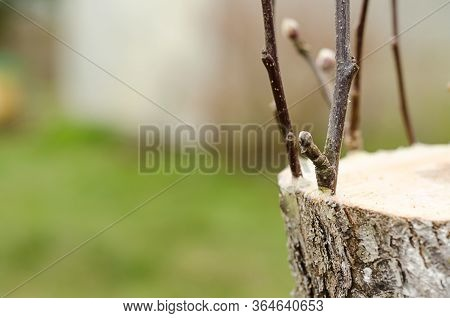 Live Cuttings At Grafting Apple Tree In Cleft With Growing Buds, Young Leaves. Copy Space, Place For