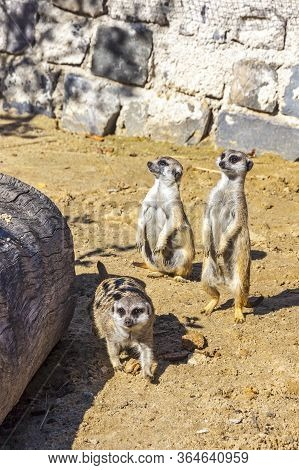 Family Of Meerkats Or Suricates (latin: Suricata Suricatta). It Is A Small Mongooses Characterised B