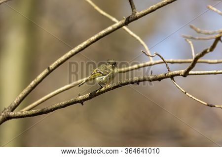 The Ruby Crowned Kinglet Is A Very Small Bird Found Throughout North America.