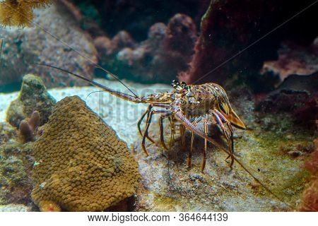 A Snapshot Of Spiny Lobster In A Natural Habitat On The Seabed.