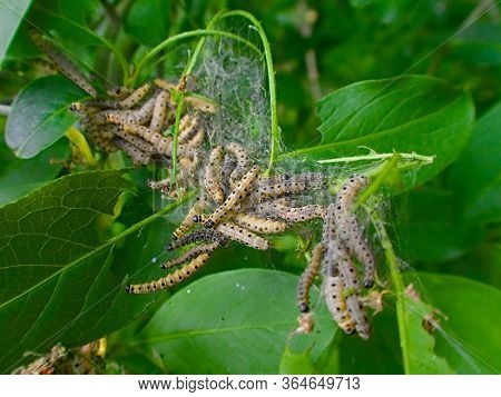 close up of littel ermine moth caterpillars