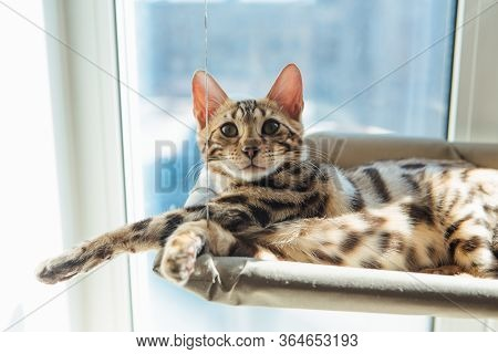Cute Little Bengal Kitty Cat Laying On The Cats Window Bed Watching On The Room.