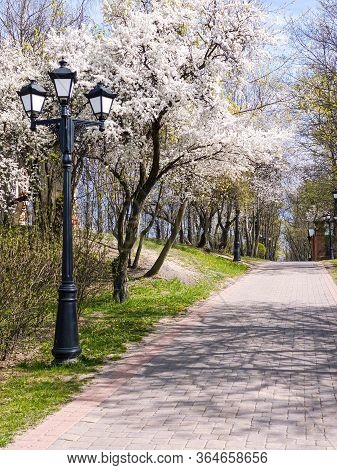 Walkway Under Blooming Cherry Trees In City Park At Sunny Spring Day