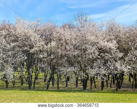 Rows Of Blooming Cherry Trees Against Blue Sky Background. Spring Park Landscape