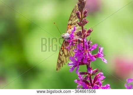 Butterfly Vanessa Cardui Sits On Bright Purple Loosestrife Flower And Drinks Nectar With Its Probosc