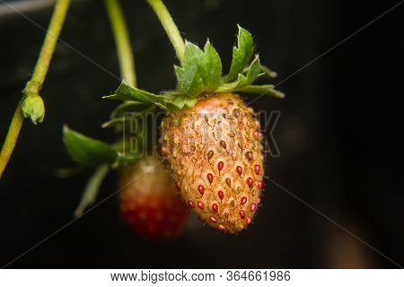 Lose-up Of Strawberry Diseased In The Garden