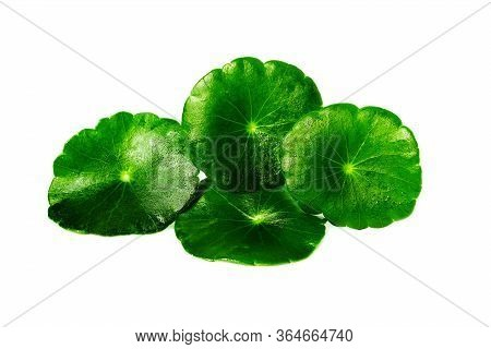 Group Of Gotu Kola Leaves With Water Drops Isolated On White Background.