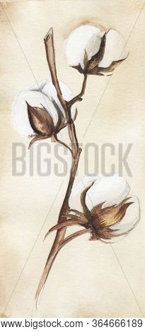 Watercolor Image Of Tender Cotton Twig On Soft Beige Background. Delicate White Soft Heads On Dry Br