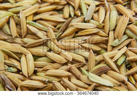Pile Of Paddy Rice And And Rice Seed Background