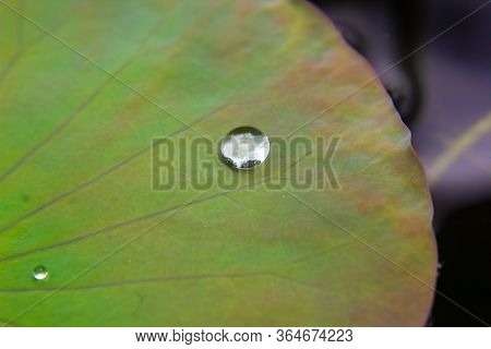 Close Up Water Drop On The Lotus Leaf