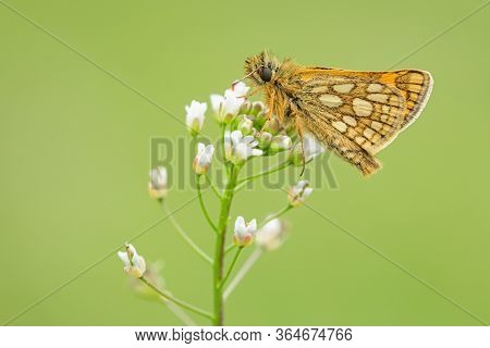 Close Up Image Of A Small Woodland Butterfly, Chequered Skipper, With Brown Eyes And Yellow Spots On