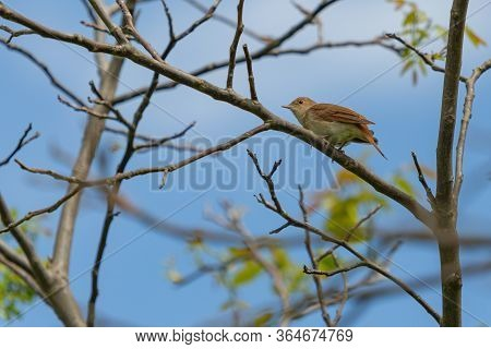 Common Nightingale, A Brown Song Bird With Reddish Tail, Perching On Tree On A Spring Sunny Day. Blu