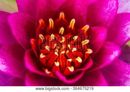 Part Of  Beautiful Lotus Flower Ellisiana Or Tubtim Siam Water Lily Blooming On Pond