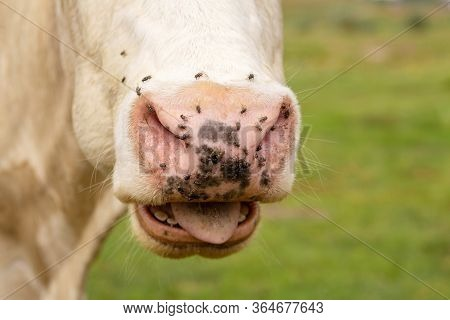 Close-up Of A Cow Nose Attacked By Flies. Parasites Cause Discomfort In Livestock