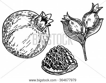 Fruit Pomegranate Set. Hand Drawn Vector Illustration Realistic Sketch. Pomegranates With Seeds And