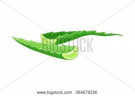 Aloe Vera Thick Fleshy Leaves Pieces As Flowering Succulent Plant Vector Illustration
