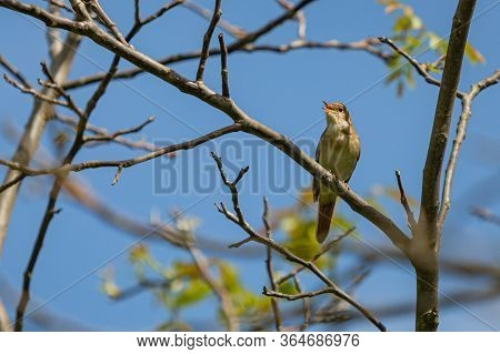 Common Nightingale, A Brown Song Bird With Reddish Tail, Perching On Tree Singing. Sunny Spring Day
