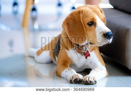 One Beagle Dog, Puppy Male Beagle Dog 11months , Dog Portrait With Soft Blur Background ,beagle Is F