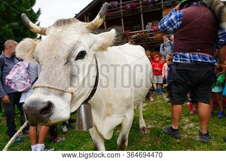 Alpine Gray Cow. White Cow With Horns In Dolomites Area. Alpine Cow. Portrait Of A Gray Beautiful Co