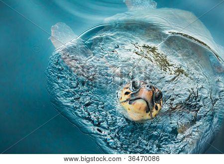 Loggerhead Turtle (caretta caretta) breathing on the surface of the sea