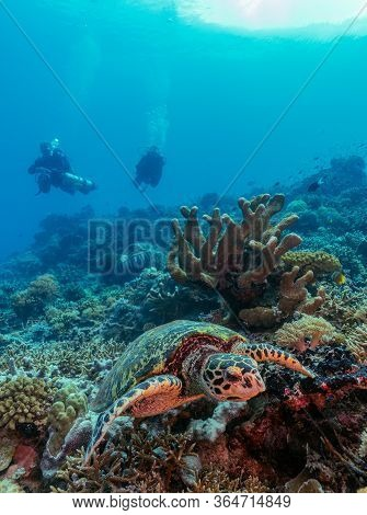 Hawksbill Turtle On The Coral Reef With Two Divers In The Background.