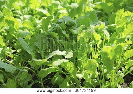 Radish Or Raphanus Sativus, Cultivated Radish, Daikon, Radish. Spring Vegetable In The Garden. Growi