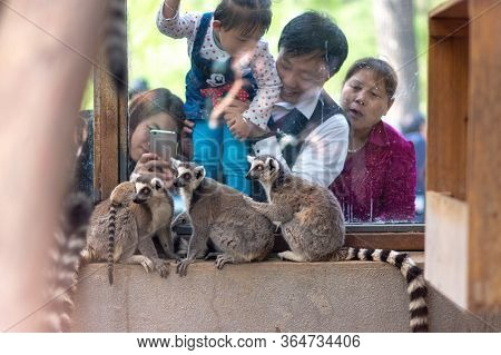Beijing / China - April 10, 2016: People Looking At A Group Of Ring-tailed Lemurs Lemur Catta At The