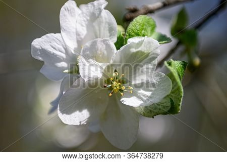 Macro closeup of blooming apple tree branches with white flowers during springtime