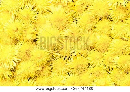 Bright Background Of Yellow Dandelions. Wildflowers Summer