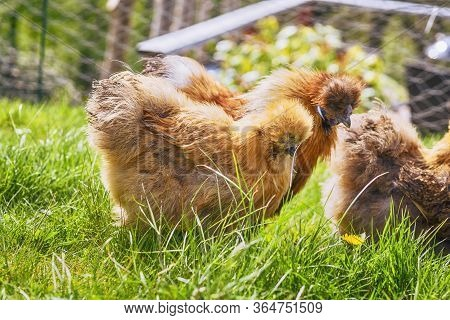 Brown Silkie Chickens On A Rural Green Lawn In The Springtime In Sunny Weather