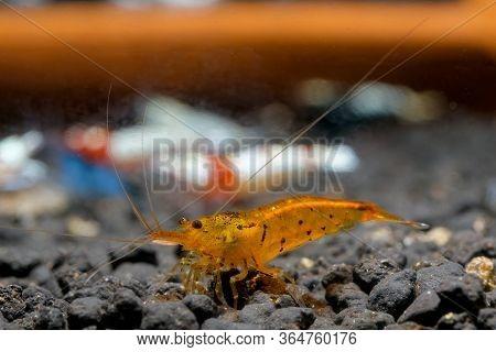 Orange Tiger Shrimp Look For Food In Aquatic Soil. Tangerine Tiger Shrimp, Caridina Serrata, Is An I