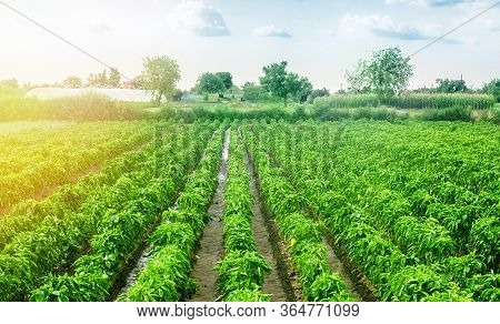 Paprika Pepper Plantation Field After Rain. Agriculture, Farming. Growing Vegetables In The Agricult