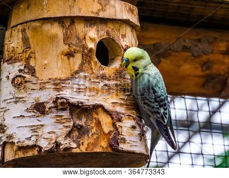 Closeup Portrait Of A Yellow Budgie Parakeet On Its Birdhouse, Tropical Bird Specie From Australia