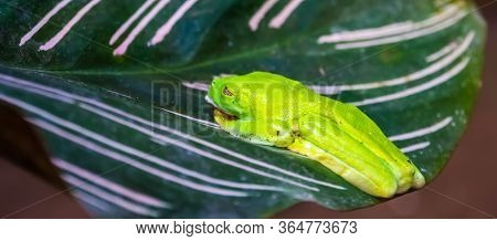 Red Eyed Tree Frog Sitting On A Leaf, Tropical Amphibian Specie From America