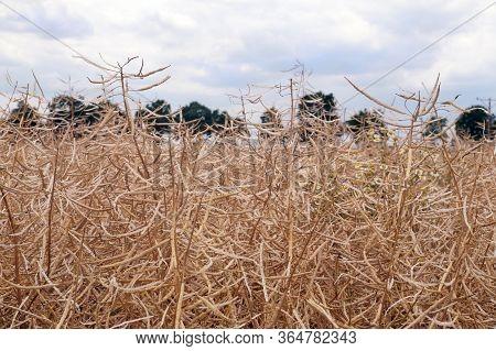 Mature Field For Rapeseed Harvest. Harvest Time.