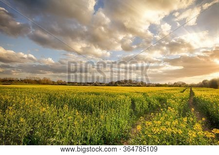 Sunset Landscape Over Rapeseed Crops In Rural Norfolk. Beautiful Clouds And Natural Light Over Track
