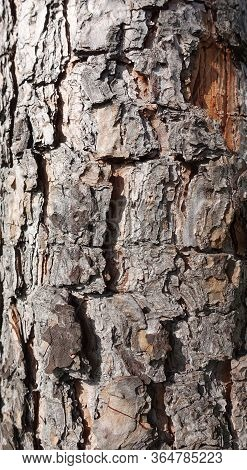 Natural Pine Tree Bark Abstract Background Natural  Background