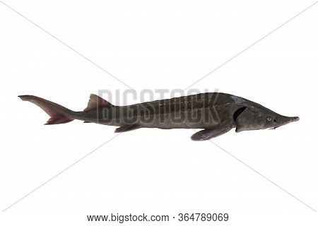 Sturgeon Isolated On A White Backgrounde. Young Fish