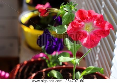 Red Petunia Flowers In A Pot On The Balcony Among Other Flowers. We Grow Flowers At Home. Sunlight B