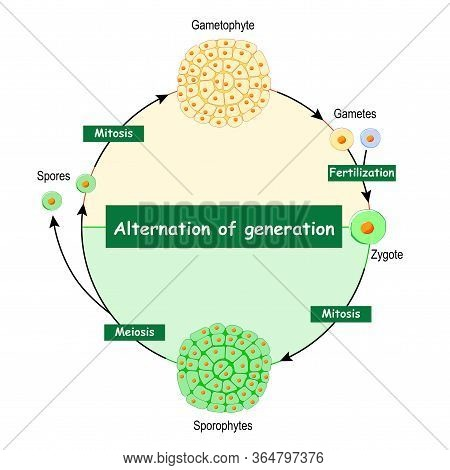Difference Between Gametophytes And Sporophytes. Alternation Of Generation. Type Of Life Cycle That