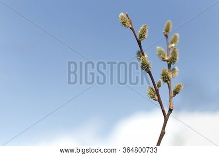 Salix Caprea (goat Willow, Also Known As The Pussy Willow Or Great Sallow) Is A Common Species Of Wi