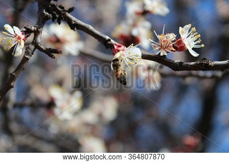 A Bee On A Flower Collects Pollen. Pollination Of Flowers. Pollination Of Trees. Apricot Tree Blosso