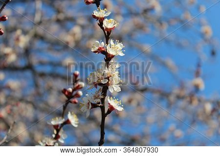 Apricot Blossoms. Spring Apricot Blossoms. Flowering Apricot Tree. Spring Time. Freshness, March. Ap