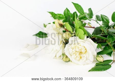 White Roses With Petals On The White Background Gorizontal Closeup. Nice Gift For Greeting With Happ