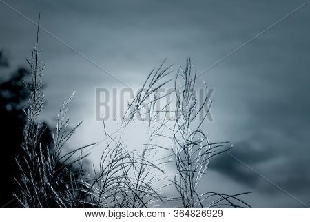 Black And White Scene Of Grass Flower With Dark Sky And Sunlight. Dreamy Background For Sad, Dead, H