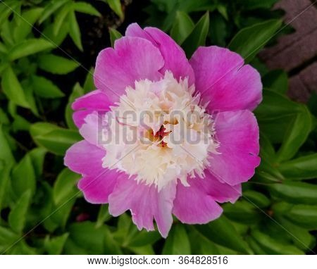 A Close Up Of Peony Cora Stubbs Pink Flower