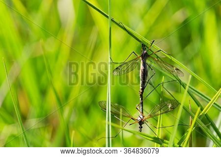 Two Copulation Tipula Maxima On Grass Meadow. Nature Spring Background