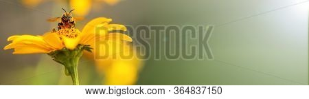 Bee And Flower. Banner. Close Up Of A Large Striped Bee Collecting Pollen On A Yellow Flower On A Su