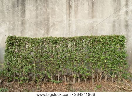 Bush Plants, Shrubs, Or Small Green Trees In Garden Park Isolated On Concrete Cement Background.